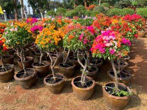 Vườn hoa Giấy Thái cổ thụ tại xanh 365