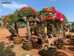 Cây hoa Giấy Thái nhiều màu sắc