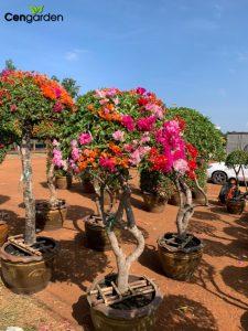 Cây hoa Giấy Thái thân gỗ