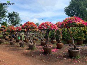 Cây hoa Giấy Thái được trồng chậu